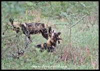 Leg of lamb, wild dog style...