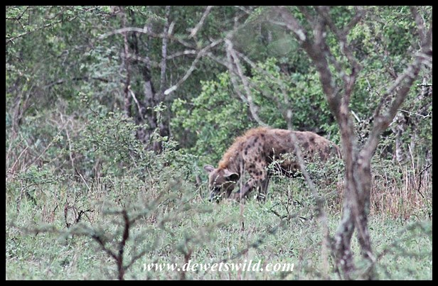 Hyena cleaning up after the wild dog kill