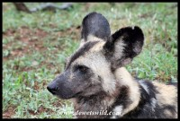 Wild dog profile