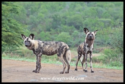 Wild Dog alpha pair