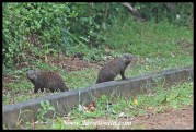 Banded mongooses at the curbside in St. Lucia town