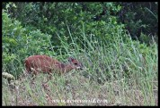 Red duiker near the main beach