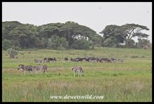 Mixed herd of wildebeest and zebra