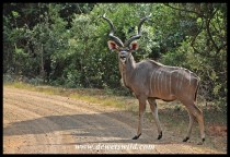 Kudu near Charters Creek