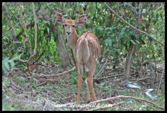 Nyala near Charters Creek