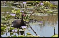 Spur-winged goose, Kwelamadoda Pan