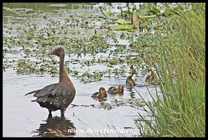 Spur-winged goose and goslings, Kwelamadoda Pan