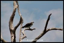 A second Western Osprey sighting on the same day!