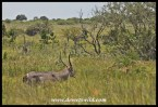 Waterbuck in long grass