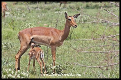 There seemed to be impala lambs around every corner at uMkhuze