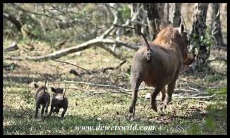 Radio-controlled warthogs