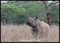 Don't mess with a black rhino