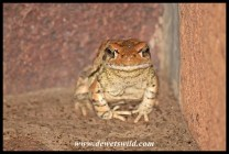 Red Toad at home outside our cottage