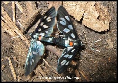 Romance in the ravine - Heady Maiden moths