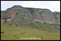 Re hartebeest dwarfed by Golden Gate's scenery b