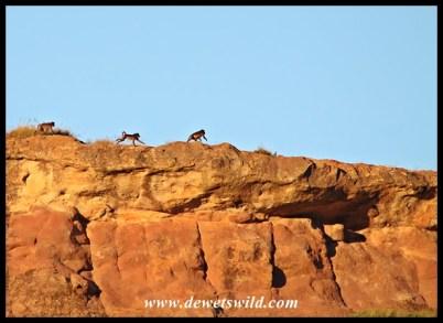 Baboon acrobats