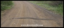 Our best ever sighting of a wild python!