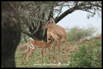 These impalas considered Mpila a good place to raise their lambs