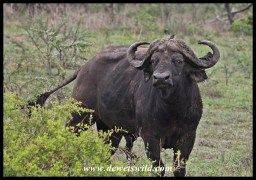 Bad tempered buffalo bull