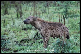 Spotted hyena sniffing the breeze