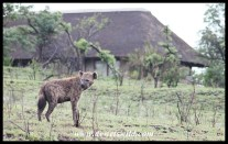 Hyenas come into camp every night. This one we saw at Masinda Lodge, a short distance from Mpila, one morning