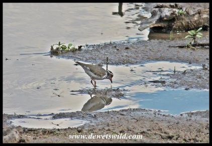 Three-Banded Plover at uBhejane Hide