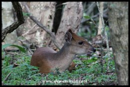 Red Duiker in Hilltop Camp