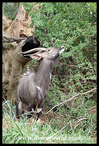 Nyala at the Hluhluwe River bridge