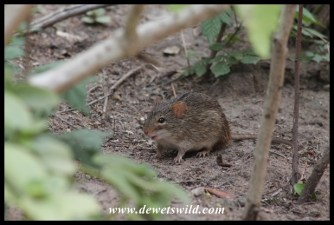 Single-striped Grass Mouse at Centenary Centre