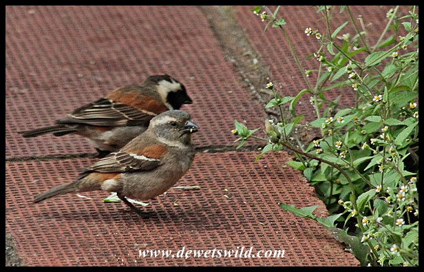 Cape sparrows pair