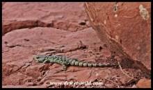 Drakensberg Crag Lizard
