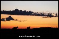Sunrise zebras