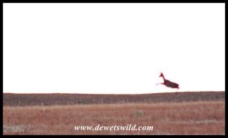 Grey rhebuck in flight