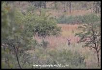 Waterbuck