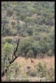 Giraffe dwarfed