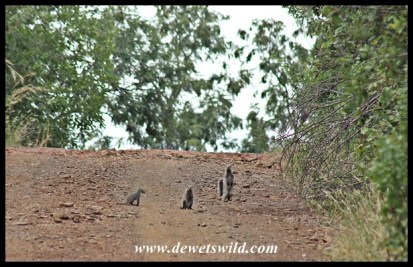 Banded mongooses in the road
