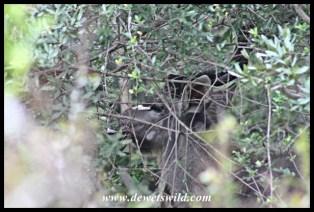Hidden kudu