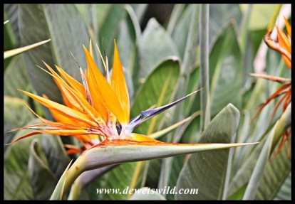 Strelitzia bloom
