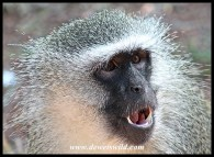 Dominant male vervet monkey showing off his weaponry