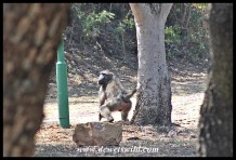 Baboon making a run for it