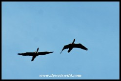 White-breasted cormorants in flight