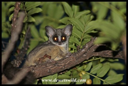 The cute and tiny lesser bushbaby