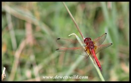Dragon flies abound