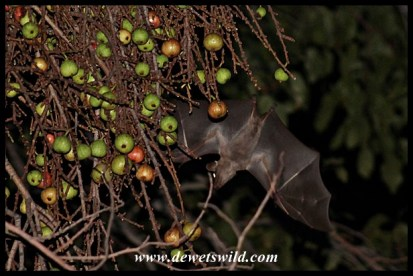 Egyptian Fruit-bat visiting the wild figs