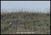 Grey rhebok ram