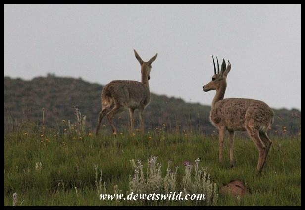 Grey rhebok (3)