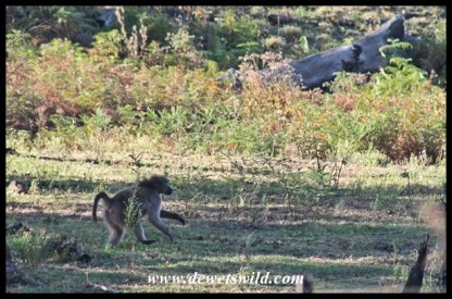 Baboon making a hasty retreat