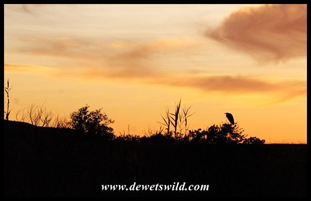 Heron at sunrise