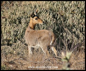Mountain Reedbuck ram (photo by Joubert)