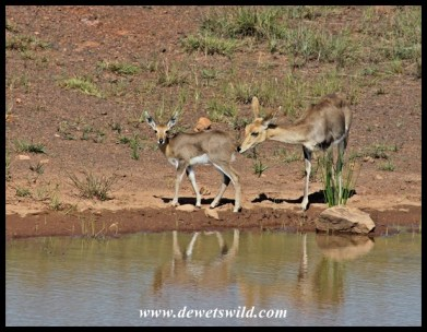 Mountain reedbuck ewe and lamb